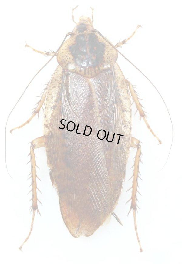 画像1: ヤエヤママダラゴキブリ 1♀