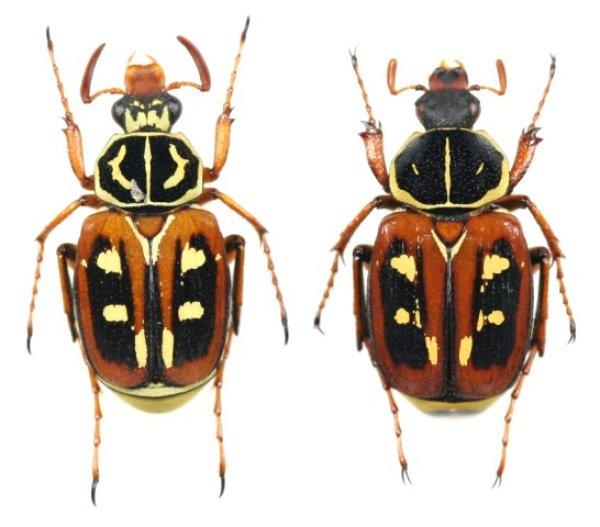 画像1: オオシマオオトラフハナムグリ 原名亜種 ペア(普通色)