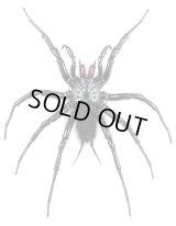 オオクロケブカジョウゴグモ 大型♂ 全長100mm  石垣島