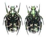 イシガキシロテンハナムグリ 原名亜種 ペア(緑色) 石垣島