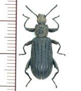 ゴミムシダマシの一種 Tenebrionid species フィリピン(ミンダナオ島)
