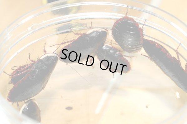 画像1: サツマゴキブリ 14頭セット(生き虫) 石垣島 送料無料!