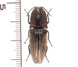 ミドリサビコメツキ 1頭 Chalcolepidius porcatus   フランス領ギアナ