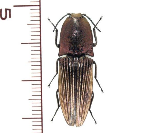 画像1: ミドリサビコメツキ 1頭 Chalcolepidius porcatus   フランス領ギアナ