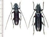 カミキリムシの一種 Sphallotrichus bidens ペア   フランス領ギアナ