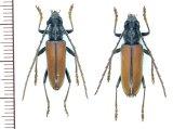 カミキリムシの一種 Plocaederus rusticus ペア   フランス領ギアナ