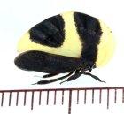 他の写真1: マルエボシツノゼミ Membracis foliata ♀   フランス領ギアナ
