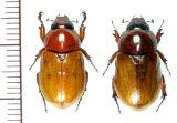 コガネカブトの一種 Cyclocephala simulatrix ペア   フランス領ギアナ