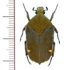 ハナムグリの一種 Gymnetis margineguttata 1頭   フランス領ギアナ
