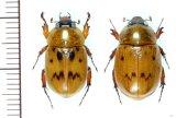 コガネカブトの一種 Cyclocephala undata ペア   フランス領ギアナ
