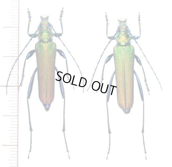 ムラサキアオカミキリ ペア 鹿児島県南九州市 - Insect Islands ~南の島の昆虫標本屋さん~
