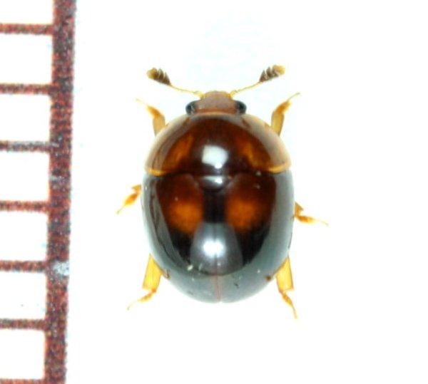 画像1: マルケシキスイ属の一種 Cyllodes sp. 1頭 石垣島