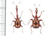 ミツギリゾウムシに擬態したオトシブミの一種 ペア Cycnotrachelus flavotuberosus  ベトナム(ベトナム中部)