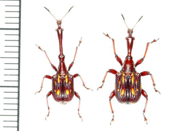 画像1: ミツギリゾウムシ擬態のクビナガオトシブミの一種 ペア Cycnotrachelus flavotuberosus  ベトナム(ベトナム中部)