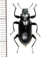 アラメゴミムシダマシ Derosphaerus sinensis  ♀ ベトナム(ベトナム中部)