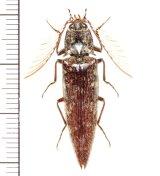 コメツキムシの一種  Pectocera sp.  ♂   ベトナム(ベトナム南部)