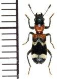 アリバチ擬態のカッコウムシの一種  Thanasimus formicarius ロシア