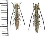 カミキリムシの一種  Tetraglenes sp. ペア  ベトナム(ベトナム中部)