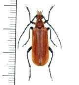 カミキリムシの一種  Cerambycid species ♀  ベトナム(ベトナム中部)