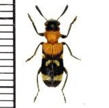 アリバチ擬態のカッコウムシの一種  Clerid species インドネシア(ジャワ島)