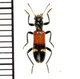 アリバチ擬態のカッコウムシの一種  Opilo taeniatus ギリシャ
