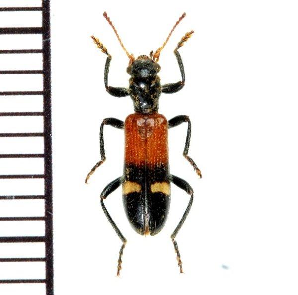 画像1: アリバチ擬態のカッコウムシの一種  Opilo taeniatus ギリシャ