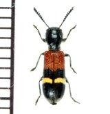 アリバチ擬態のカッコウムシの一種 Clerid species   チェコ