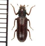 クビカクシゴミムシダマシの一種 Stenochinus sp.  ♂ 徳之島