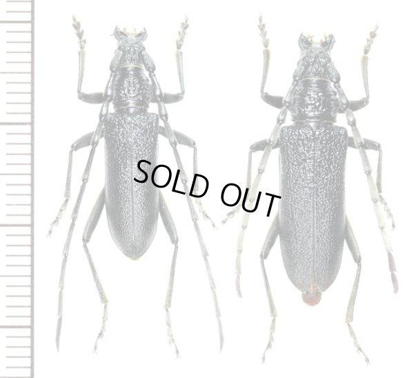 画像1: カミキリムシの一種 Cerambycid species  ペア   スロバキア