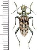 カミキリムシの一種 Rhagium inquisitor  ♂ エストニア