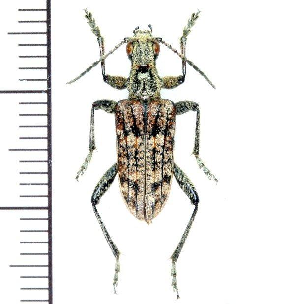 画像1: カミキリムシの一種 Rhagium inquisitor  ♂ エストニア