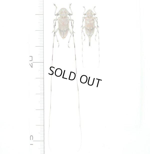 画像1: カミキリムシの一種 Acanthocinus aedilis  ペア エストニア