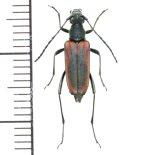 カミキリムシの一種 Cerambycid species ♀   スロバキア