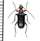 カミキリムシの一種 Dinoptera collaris ♂ ロシア