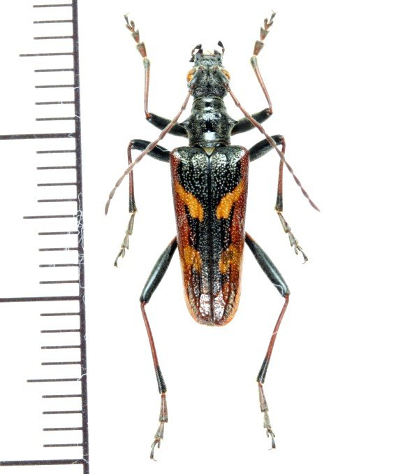 画像1: カミキリムシの一種 Rhagium bifasciatum ♂   チェコ