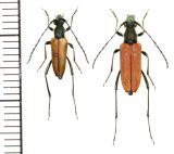 カミキリムシの一種 Anastrangalia sanguinolenta  ペア ロシア