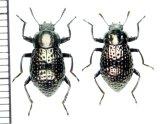 カラカネオオキマワリモドキ 原名亜種 ペア 与那国島