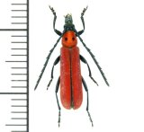 カミキリムシの一種  Erythrus blairi ♂  ベトナム(ベトナム中部)