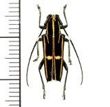 カミキリムシの一種 Glenea versuta  ♀  フィリピン(ミンダナオ島)