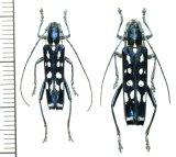 カミキリムシの一種 Glenea beatrix  ペア  フィリピン(ルソン島)