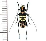 カミキリムシの一種 Glenea parexculta ♂ フィリピン(ミンダナオ島)