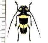 カミキリムシの一種  Thermistis croceocincta ♂  ベトナム(ベトナム北東部)