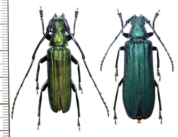 画像1: カミキリムシの一種 Vietetropis viridis ペア  ベトナム北東部