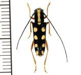 カミキリムシの一種 Glenea quadriochreomaculata  ♀  フィリピン(ネグロス島)