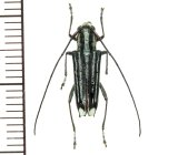 カミキリムシの一種 Glenea sp.  ♂  フィリピン(ミンダナオ島)