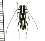 カミキリムシの一種 Glenea sp.  ♀  フィリピン(ネグロス島)