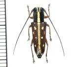 カミキリムシの一種 Glenea submajor ♀ フィリピン(ルソン島)