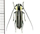 カミキリムシの一種 Glenea cylindrepomoides ♀ フィリピン(ルソン島)