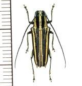 カミキリムシの一種 Glenea sp.  ♀  フィリピン(ルソン島)