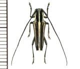 カミキリムシの一種 Glenea sp.  ♂  フィリピン(ルソン島)